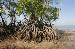 What Are Mangroves: Learn About The Importance Of Mangrove