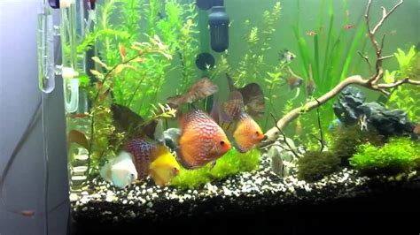 Discus Aquascape Sydney 2012 May 22 Youtube