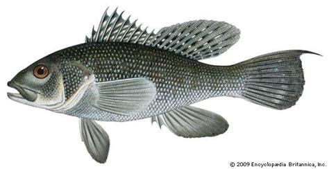 sea bass fish sea bass fish britannica com