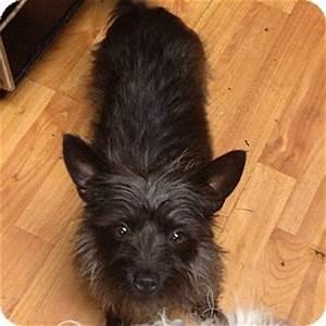 Black Yorkie Terrier Mix - newhairstylesformen2014.com