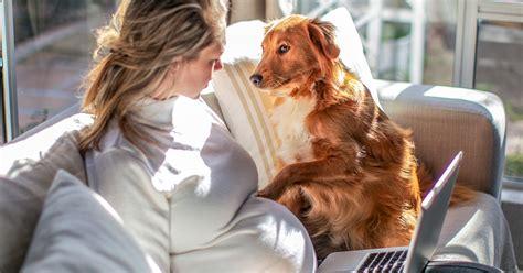 dogs sense pregnancy predict labor research