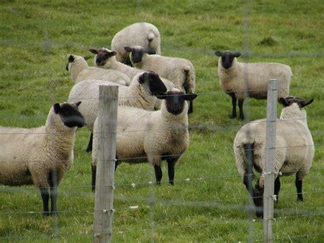Animali Da Cortile Definizione by La Pecora Pecore E Capre Caratteristiche Della Pecora