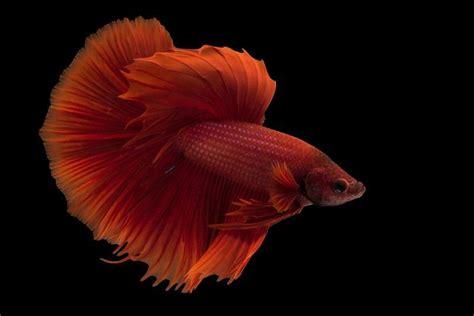 peces de agua caliente caracteristicas necesidades cuidados