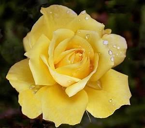 Gelbe Rose Bedeutung : rose gelb foto bild pflanzen pilze flechten bl ten kleinpflanzen rosen bilder auf ~ Whattoseeinmadrid.com Haus und Dekorationen