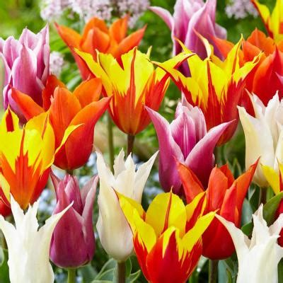 bloomsz flowered tulip bulb mix flower bulb 8 pack