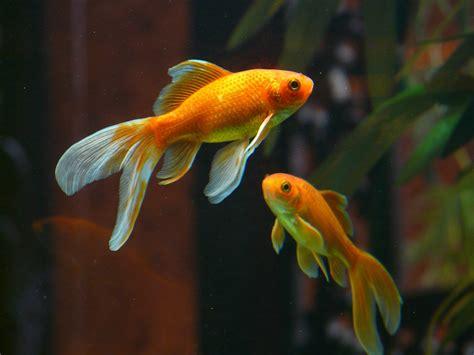 poisson en aquarium 6 raisons de sortir les poissons rouges de leur bocal et quelques astuces pour y parvenir