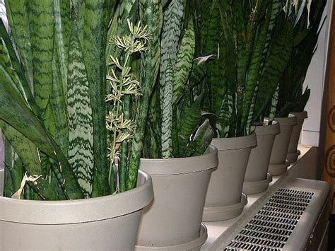 how to grow flowers snake plant varieties www pixshark com images galleries with a bite