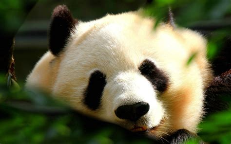 panda wallpapers images  pictures backgrounds