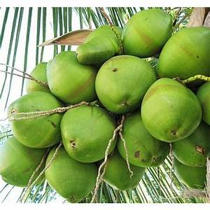 Green Coconut - Florida Coconuts - Store