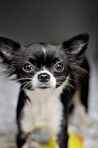 Black and white long haired chihuahua. | CHIHUAHUAS ...