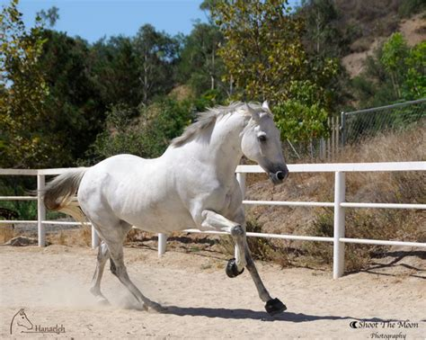 thoroughbred andalusian horse cross quixote gelding rescue trabuco canyon hanaeleh