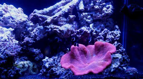 Red Haddoni Carpet Anemone  Carpet Vidalondon