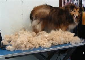 image gallery sheltie shedding