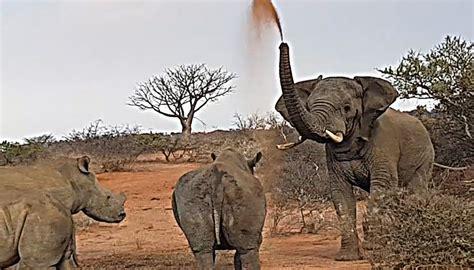 elephant confronts rhinos