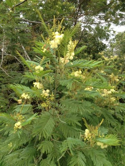 acacia catalog acacia mearnsii tree seeds black wattle seeds for sale tree seeds shrub seeds flower