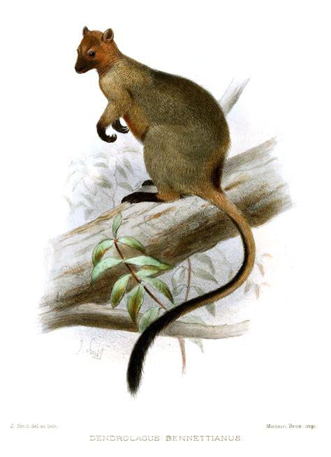 Bennett's tree kangaroo Wikipedia