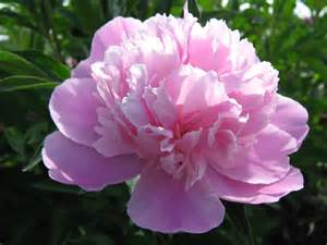 12th anniversary gift ideas flowers peony flower