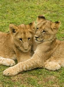 Lion Tiger and Cubs Cuddling
