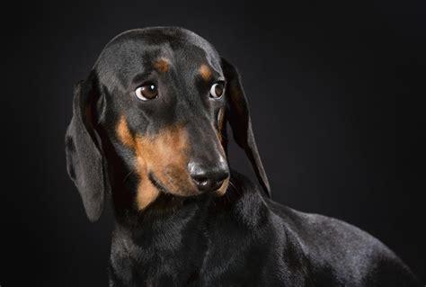 chien saucisse chiens pitou sausage dog