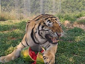 Exotic Animals – National Tiger Sanctuary