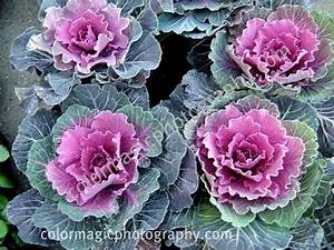 Cabbage flower-ornamental flowering kale photos
