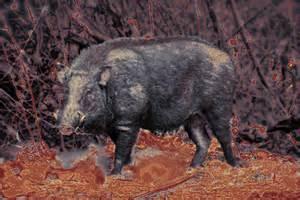 Razorback Wild Boar