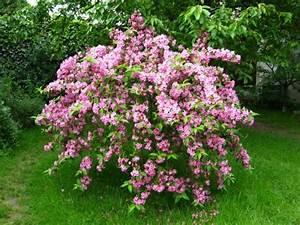 Que Planter En Juin : weig lia weigela planter cultiver multiplier ~ Melissatoandfro.com Idées de Décoration