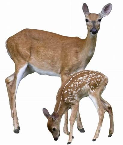 Deer Clker Clipart Clip Vector