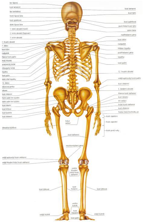 Svaly v tele