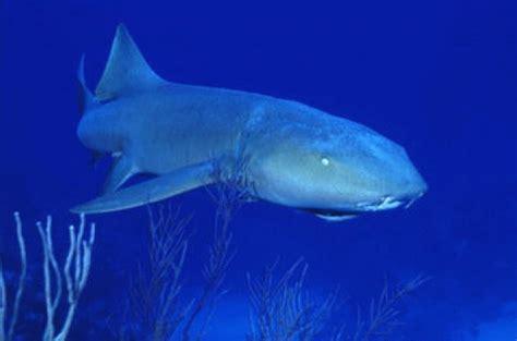 requin dormeur requin dormeur de karine6200