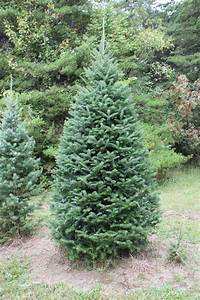 Canaan Fir | Forest for the Trees | Pinterest