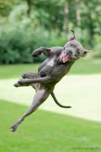 Happy Pit Bull Dog