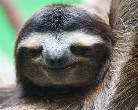 sloths as pets i want a pet sloth look how cute me pinterest