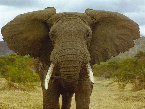 Elefante (elephantidae