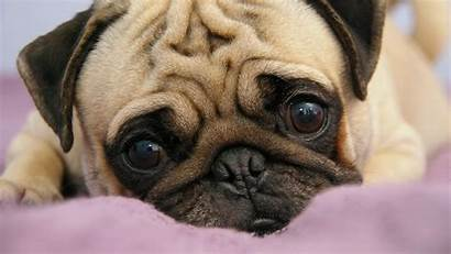 Pug Funny Puppy Eyes Snout Lie Wallpapertag