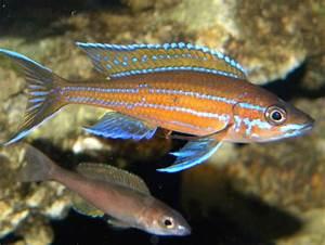 cichlids Paracyprichromis nigripinnis