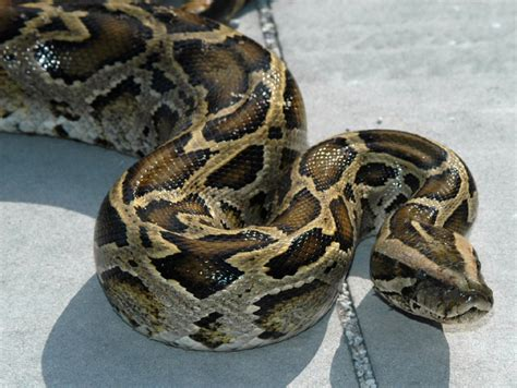 python bedding salazar announces ban on importation and interstate