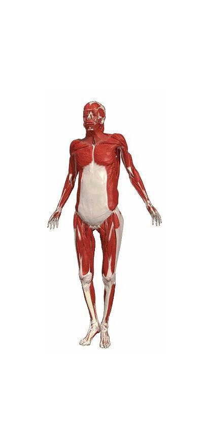 Musculos Anatomia Anatomy Human Sistema Muscular El