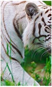nature animals white tiger feline 1920x1200 wallpaper High ...