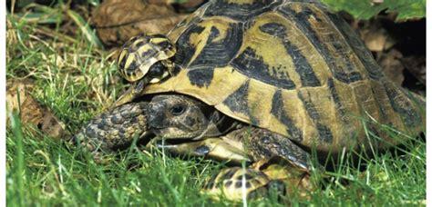 le pour tortue hermann espoir pour la conservation de la tortue d hermann dans le var sciencesetavenir fr