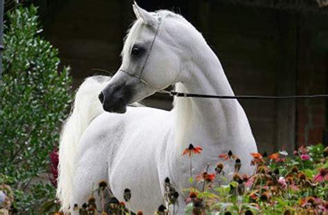 süße pferde bilder al lahab der sch 246 nste hengst der welt stuttgart stuttgarter zeitung