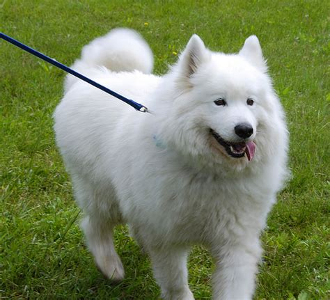 Big Fluffy White Cute Furry  Ee  Dog Ee   Flickr P O Sharing