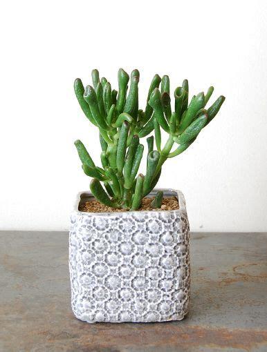piante d arredo suculentinha piante d arredo plants cactus e succulents
