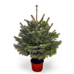 real potted 5ft fraser fir christmas tree