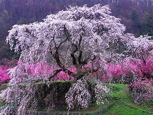 Wallpapers  Cherry Tree