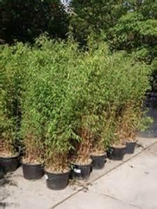 Welches Gras Als Sichtschutz : welche bambus sorte ist gut als k belpflanze geeignet und bietet guten sichtschutz fragen ~ Sanjose-hotels-ca.com Haus und Dekorationen