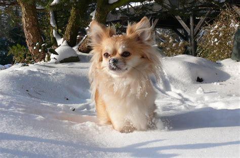 chihuahua langhaar huendin im schnee wennigsen myheimatde
