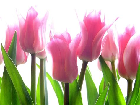 Pink Tulip Backgrounds by Pink Tulip Flower Pictures 2013 Wallpapers
