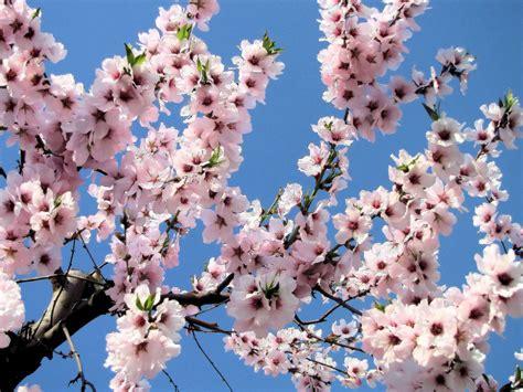 mandorlo da fiore coltivare il mandorlo una magia in pieno inverno il