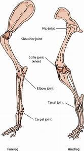 Animal Anatomy Hip